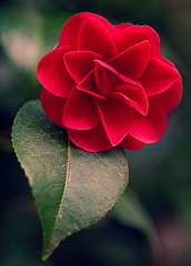 A Big Thank You (AnyMotion) Tags: flowers red plants rot primavera nature floral colors leaves garden spring colours blossom frankfurt pflanzen blumen camelia camellia blte bltter garten printemps mothersday farben frhling 6d kamelie 2016 muttertag anymotion camelliajaponica canoneos6d
