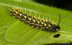 Spiny caterpillar, Siproeta sp. (Ecuador Megadiverso) Tags: ecuador caterpillar spiny nymphalidae siproetasp