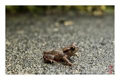 bufo bufo (alamond) Tags: baby brown canon young amphibian toad 7d l usm ef f4 1740 mkii markii bufo bufobufo brane llens alamond zalar