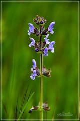 Salvia pratense (Josinisam) Tags: copyright espaa naturaleza flores valladolid fotografos medinaderioseco canaldecastilla nikond7000 fotografosdevalladolid josinisam joseignaciosantamaria