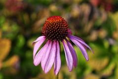 pretty :) (charlottehbest) Tags: uk autumn england flower october nationaltrust 2015 dyrhampark dyrham charlottehbest