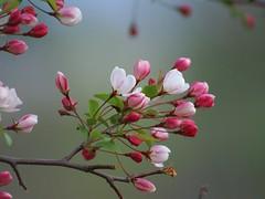 apple blossoms (SusanKSchutz aka reddeviltj) Tags: tree spring michigan may appleblossoms 2016 stclaircounty