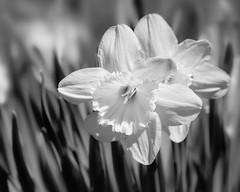 Togetherness (Chizuka2010) Tags: flowers monochrome season spring bokeh printemps daffodils narcissus jonquilles narcisses seasonflower hmbt