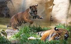 Sneak Attack (greekgal.esm) Tags: california animal cat mammal cub feline sony tiger mother bigcat sumatrantiger joanne sandiegozoo safaripark carnivore escondido tigertrail sal70300g sandiegozooglobal endextinction a77m2 a77mii