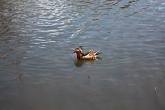Mandrake duck (paulbeardmore1) Tags: nottingham duck wollaton mandrake wollatonhall