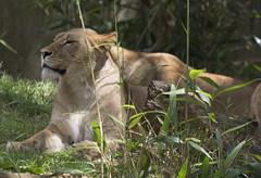National Zoo  (1276) African Lion (smata2) Tags: zoo lion bigcat africanlion pantheraleo nationscapital smithsoniannationalzoo itsazoooutthere zoosofnorthamerica flickrbigcats