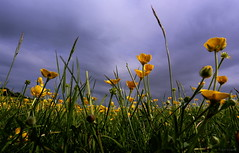 buttercups (amazingstoker) Tags: old sky cloud grass threatening meadow hampshire common basingstoke buttercups basing amazingstoke