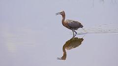 Shore Bird at Merritt Island National Seashore (AmyBaker0902) Tags: holiday club inn vacations