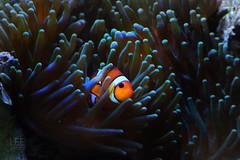 ClownFish (JamesLeePhotography) Tags: fish water swim nemo clown clownfish anenome