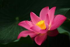 Lotus in 2016 early summer (bearboss_taiwan) Tags: lotus  leicar280mm leicam240p