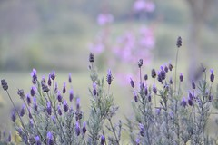 My Lavender Blues ... (lesya2014) Tags: evening calming lavender inourgarden