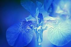 Blue Iris (Hana's images) Tags: blue iris abstract macro nikon digitalart d3100