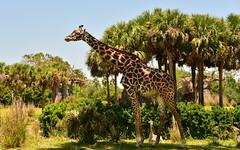 Giraffe Animal Kingdom Safari (Timfy Mills) Tags: animal kingdom disney safari giraffe serengeti nikon28300mm nikond610