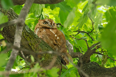 "A Cooperative Screech Owl (Kristin ""Shoe"" Shoemaker) Tags: tree bird nature backyard owl avian screechowl"