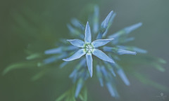 explode repeat (rockinmonique) Tags: blue flower green canon star dof blossom petal bloom tamron moniquew