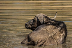 Tired Buffalo (Vittorio Avataneo) Tags: animal southafrica mammal buffalo bigfive