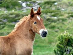P1000250 (Franois Magne) Tags: cheval libert poulain jument blond blonde bai frange montagne etang lanoux estany de lanos lac pyrnes