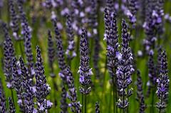 Lavender closeup (sandyb49) Tags: lavender macrolens mountainsidelavenderfarm