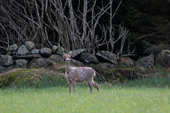 Discovered S24A9339 (grebberg) Tags: norway mammal may deer roedeer rogaland 2016 klepp capreolus capreoluscapreolus orrevannet malaneset