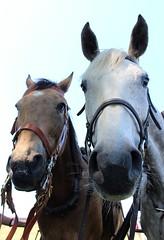 Why the long face? (jmaxtours) Tags: horses horse niagaraonthelake notl fortgeorge whythelongface niagaraonthelakeontario
