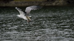 _4SJ8449-r5 (4mpx) Tags: sydney seaeagle australianbird brokenbay nikond4s tamron150600mm