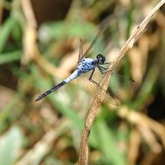 IMG_1100-Oakie300 (Mark Bukumunhe) Tags: 2005 family black dragonfly uganda paleblue