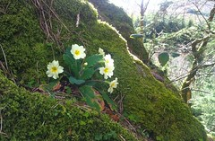 Wild primroses at Signal Rock, Glencoe