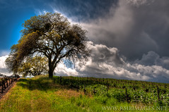 California Dreaming (Bowman66) Tags: california tree grass clouds vineyard spring oak vines nikon winery stakes sonomavalley glenellen valleyofthemoon brcohn rmbimages