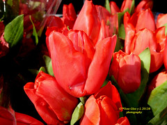 Red tulip (Pepe (ADM)) Tags: madrid red flower nature spain rojo flor tulip tulipan inblack ennegro redtulipinblack