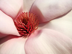 Heart of blooming pink Magnolia (Batikart ... handicapped ... sorry for no comments) Tags: park pink light shadow sun plant flower detail macro tree nature yellow closeup canon germany geotagged deutschland golden spring flora europa europe dof heart natural stuttgart blossom details natur pflanze rosa petal gelb bloom april magnolia inside middle blume makro blte sonne schatten herz 2009 baum 2012 frhling blooming a610 magnolie badenwrttemberg angiospermae blhen frhjahr swabian magnoliaceae bltenblatt staubbltter canonpowershota610 100faves 2013 200faves viewonblack batikart 201204
