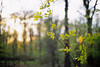 Bokeh forest (s-kamchee) Tags: green leaves forest fuji minolta bokeh dusk velvia 50 xgm cotcpersonalfavorite