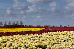 Rainbow Colours on Goeree Overflakkee (BraCom (Bram)) Tags: flowers trees holland netherlands colors clouds barn spring bomen tulips cottage nederland wolken explore trail april lente printemps huisje bloemen spoor frhling tulpen schuur zuidholland goereeoverflakkee gettyimage kleuren nieuwetonge bracom