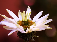 White Coneflower~Explored! (j man ) Tags: life birthday lighting friends light red white flower color macro art nature floral beautiful closeup lens happy photography petals illinois colorful flickr dof blossom bokeh pov background sony details extreme favorites depthoffield pointofview views coneflower 60mm closeness tamron comments 2012 texure jman a300 photostacking mygearandme