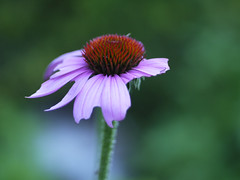 _1140553 (Old Lenses New Camera) Tags: flowers plants garden echinacea cine panasonic telephoto g1 coneflower f25 wollensak raptar 63mm 212inch