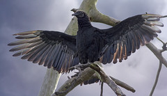 Black Vulture (Tony Tanoury) Tags: wild bird nature animal closeup fauna bill orlando florida wildlife ngc beak feather npc perch vulture ornithology birdwatching blackvulture coragypsatratus avian avianexcellence