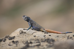 Anderson's Rock Agama - Male :   -  (Sakhr Abdullah |   ) Tags: blue orange brown mountains rock rocks south saudi arabia andersons agama laudakia adramitana