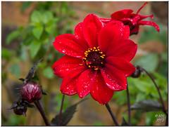 Dahlia (Maria-H) Tags: arley england unitedkingdom arleyhall garden dahlia red raindrop flower macro uk panasonic gh2 dmcgh2 leica f28 45mm cheshire