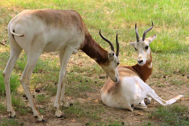 Dama Gazelles