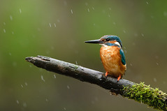 On a rainy day... (Lucky Lucas) Tags: nature rain kingfisher stick naturephotography d300 roer 500mmf4 highqualityanimals