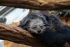 Binturong (Missud) Tags: animal animals canon germany deutschland zoo tiere hessen tierpark darmstadt tier 2010 vivarium binturong marderbär eos500d vivariumdarmstadt