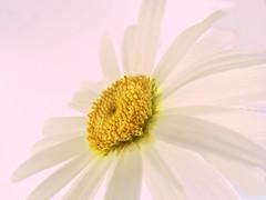 Margerite (nalihaha) Tags: stilllife plant flower macro nature germany deutschland stillleben flora natur stilleben blume blte flover margerite margeriten weis schnittblume naliha nalihaha