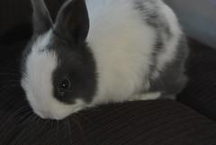 Kimchy (Naiala) Tags: pet white cute rabbit bunny bunnies love beautiful animal nose nikon little sweet dwarf conejo blueeyes small adorable ears lovely mascota usagi conejos netherlanddwarfrabbit kimchy