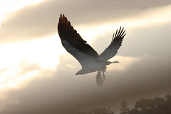 White-bellied Sea-Eagle (CampaspeBirdo) Tags: 42 australianbirds whitebelliedseaeagle haliaeetusleucogaster edennsw