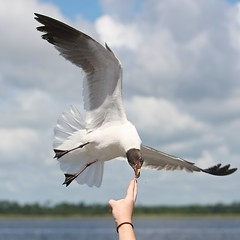 Pluck (Brian Utesch (shutterBRI)) Tags: ocean food usa bird water ferry america canon boat fly nc hand action seagull gull flight northcarolina human carolina feed southport 2012 carolinas brianutesch shuttebri