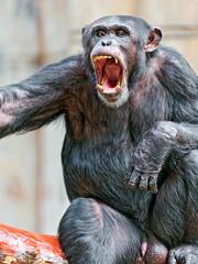 Male chimpanzee with open mouth (Tambako the Jaguar) Tags: male germany penis zoo monkey nikon sitting chimp ape krefeld chimpanzee openmouth testicles primate yawning d700