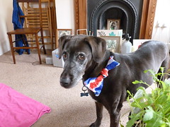 uk england dog london jubilee xena monarchy royalist xenadog xenathedog