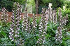 July 30th, 2012 Acanthus mollis in Caversham Court Gardens (karenblakeman) Tags: uk flowers july caversham 2012 bearsbreeches cavershamcourtgardens 2012pad acanthusmolllis