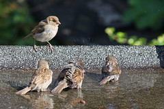 Juvenile and adult sparrows bathing (Ron and Co.) Tags: house bird sparrow bathing juvenile washing domesticus passer