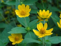 The Gleaming blossoms (Prasunext) Tags: maa murti siliguri babai swapna chalsa malbazar meteli newalipurduar maynaguri alipurduarcollege alipurduarjunction maynaguricollege newmaynaguri prasunmaynaguri prasunsarkar