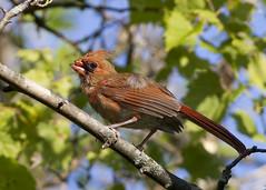Juvenile Cardinal with Beak Damage (Polytelis) Tags: bird illinois cardinal cardinaliscardinalis beakdamage